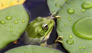 ReWaM - Frosch